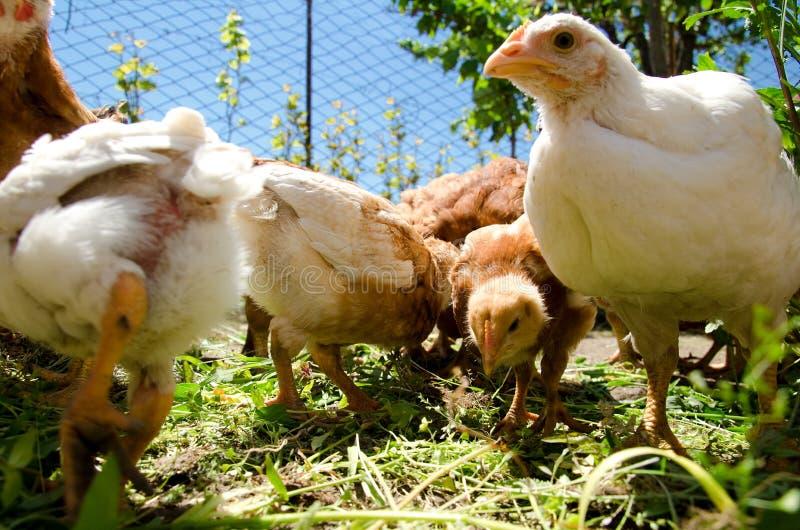 Small chicks feeding outside. Free range chicks feeding on grass royalty free stock photos
