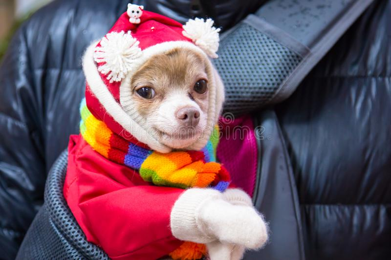 Small Chihuahua breed dog in a red suit with white pompons and a multi-colored scarf royalty free stock photos