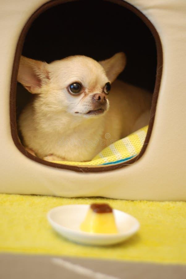 Small Chihuahua Dog Free Public Domain Cc0 Image
