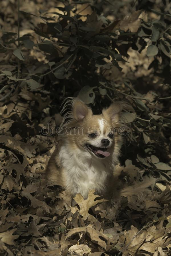 Autumns leaves and the chihuahua stock photo