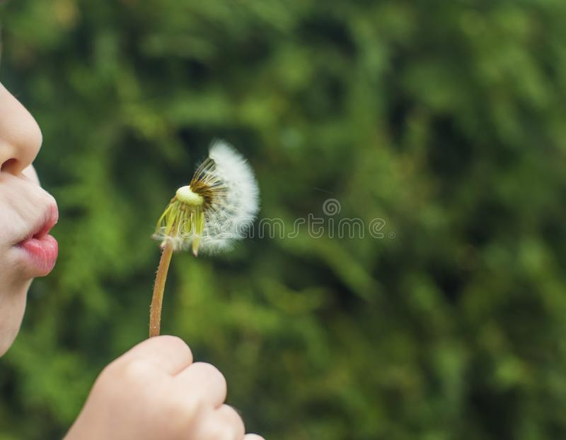 A small child blows away a fluffy dandelion. stock photography