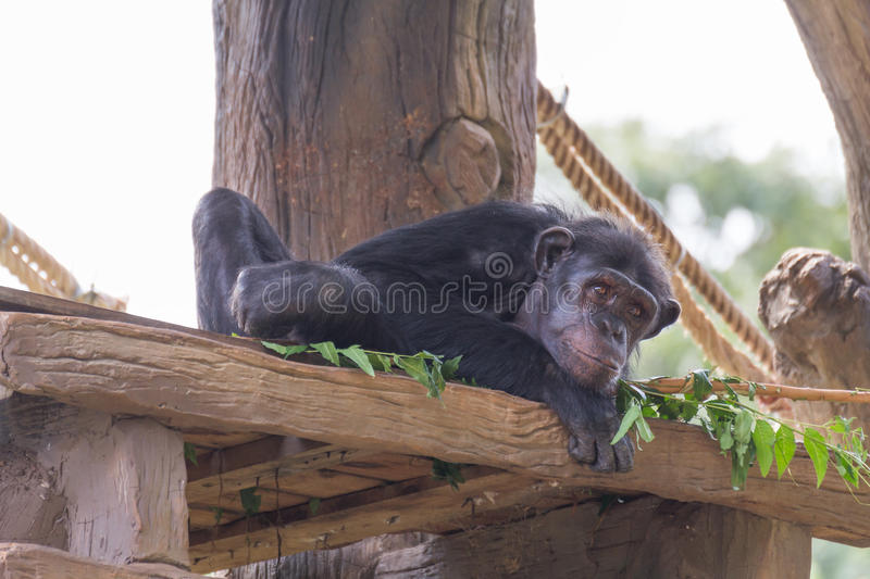 Small chimpanzee monkey. Small chimpanzee monkey relax on the tree stock images