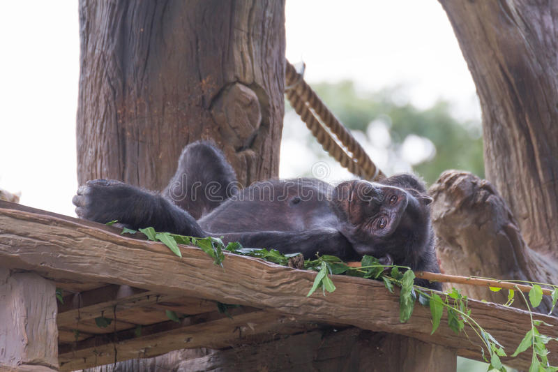 Small chimpanzee monkey. Small chimpanzee monkey relax on the tree royalty free stock photo