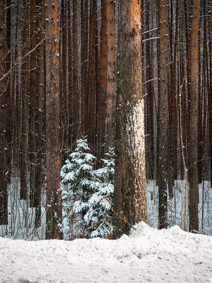 A small Christmas tree grows in a tall pine forest. Winter coniferous forest in the snow royalty free stock image