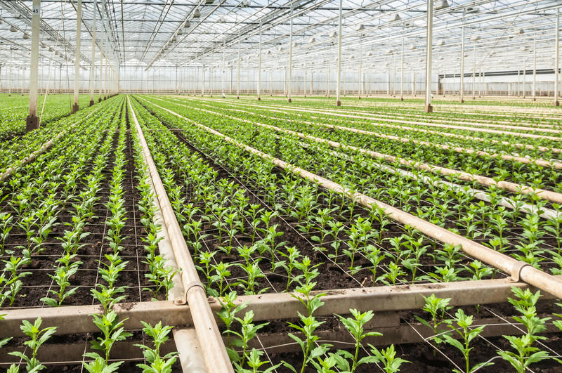 Download Small Chrysanthemum Cuttings In A Modern Plant Nursery Royalty Free Stock Photos - Image: 29556178
