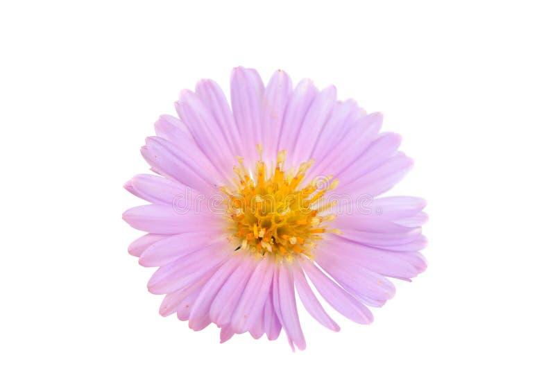 Download Small Chrysanthemum Flowers Stock Photo - Image: 21492868