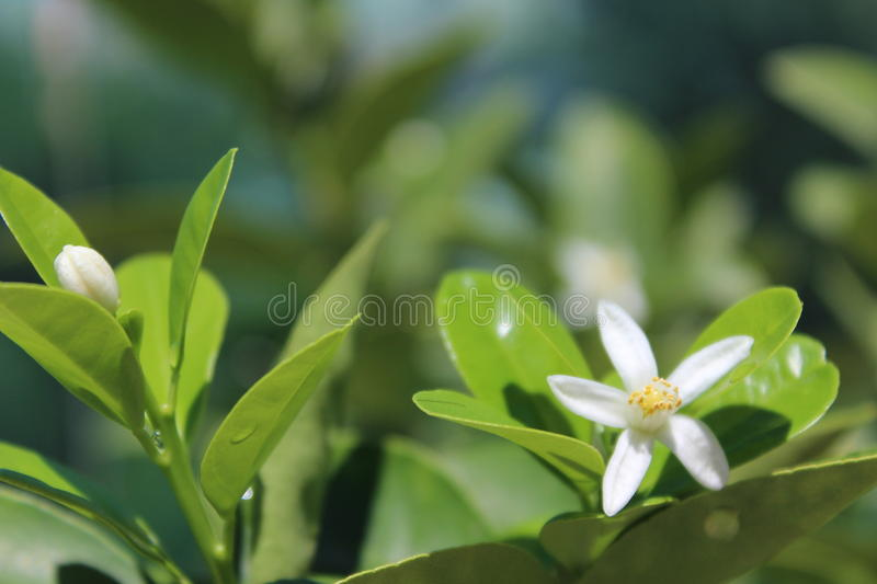 White flowers of citrus . Small citrus flowers and white. A bright green citrus tree in the background royalty free stock images