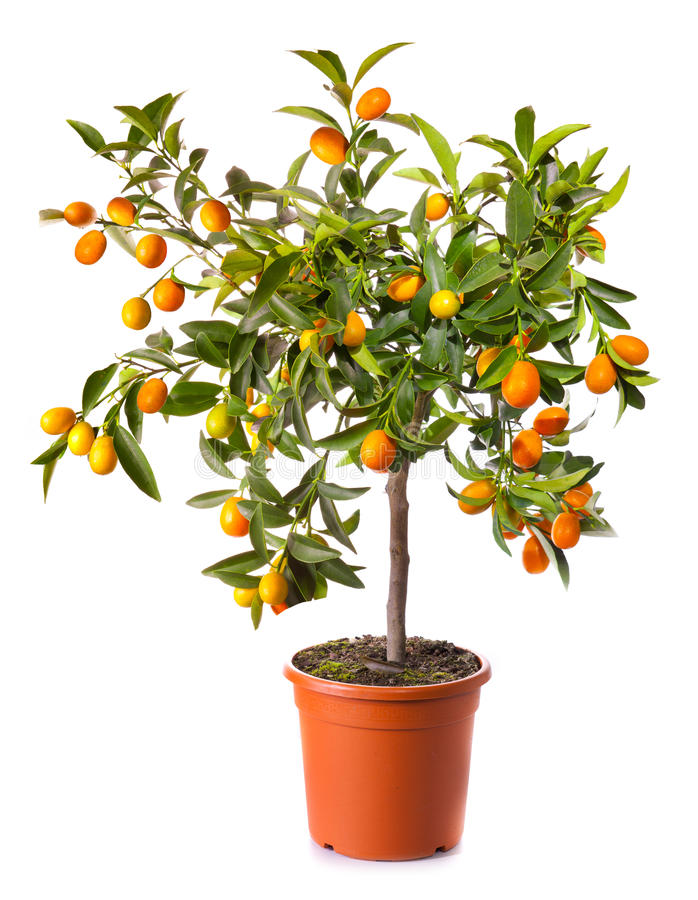 Small citrus tree in the pot. Isolated on white royalty free stock photo