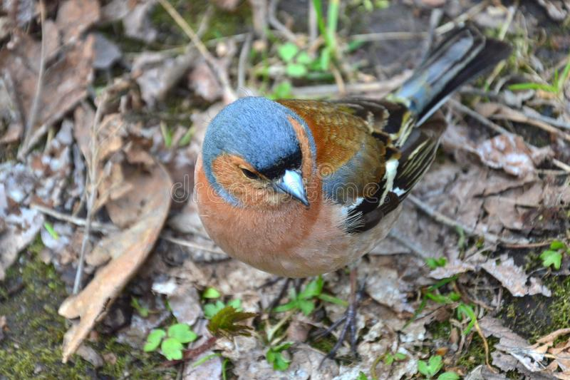 A chaffinch in the park -closeup royalty free stock images
