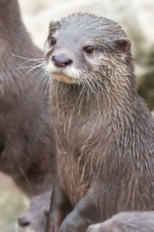 Small-clawed Otter Vertical Royalty Free Stock Photos