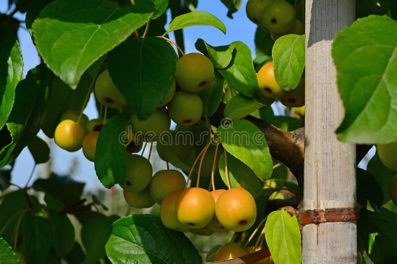 Small, clean, apples apple pollinator on branches. Small, yellow. clean apples apple pollinator on branches stock image