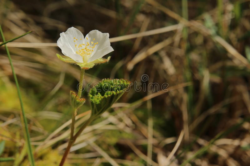 Small cloudberry (Rubus chamaemorus) plant with blossom.  royalty free stock photos