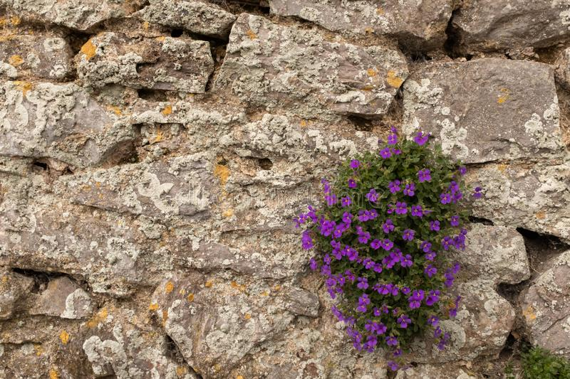 A small clump of beautiful puple flowers bloom on a crumbling stone wall royalty free stock photos