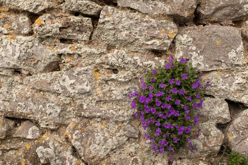 A small clump of beautiful puple flowers bloom on a crumbling stone wall. A small clump of beautiful puple flowers at the bottom right hand corner bloom on a royalty free stock image