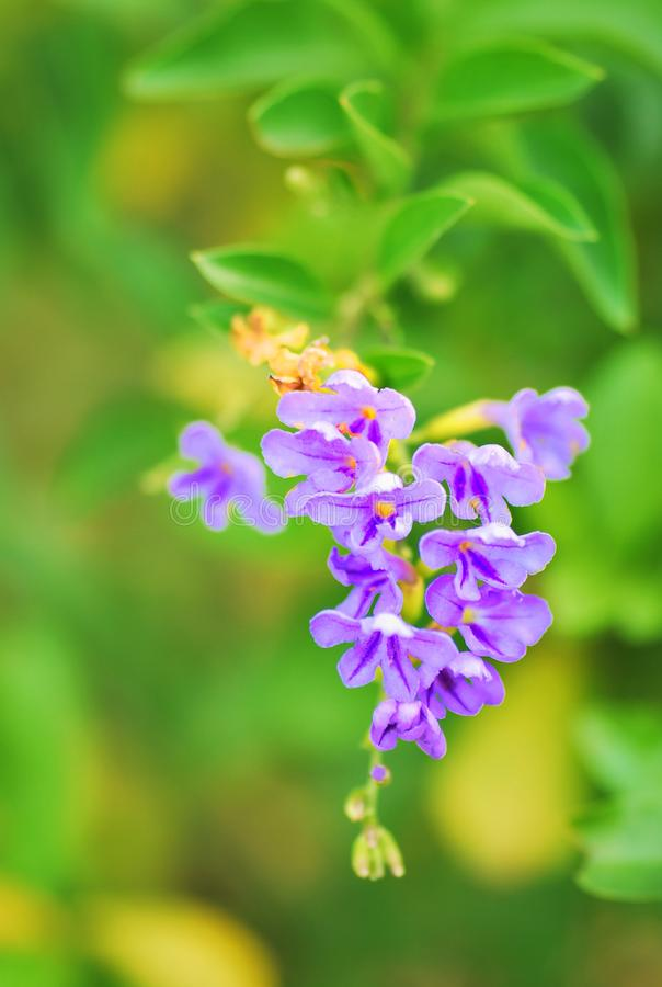 A small cluster of purple ultraviolet colored flowers. Against a green backdrop of leaves at a park stock photos