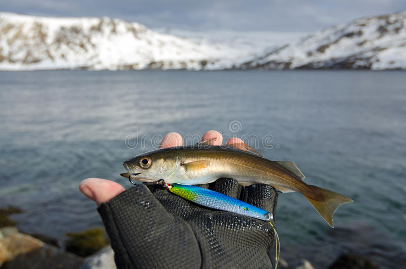 Small coalfish in the hand. Small coalfish fishing trophy in anglers hand royalty free stock images