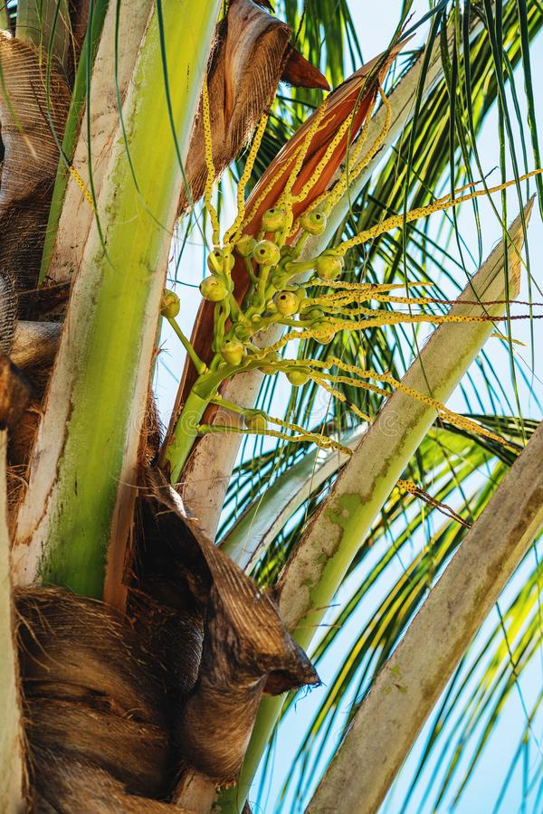 Small coconut nuts on palm tree. At sunny day royalty free stock photos