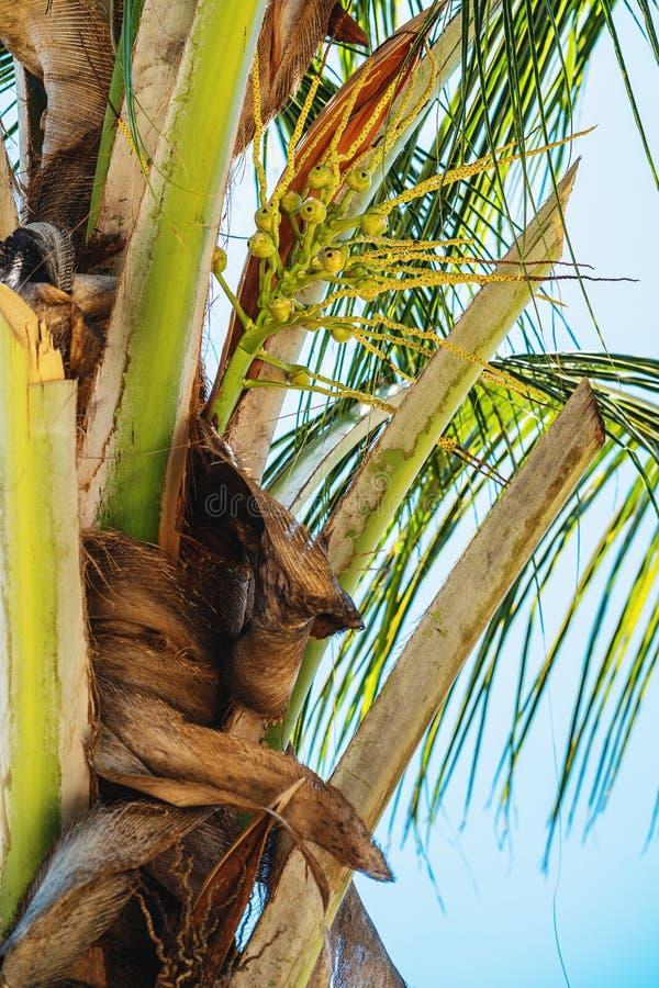 Small coconut nuts on palm tree at sunny day. In Zanzibar stock photography