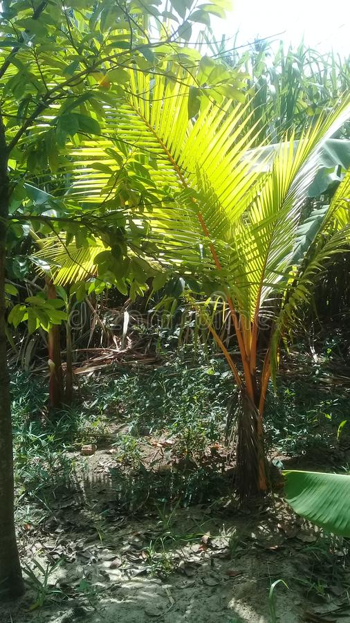 Small coconut tree in a garden stock images