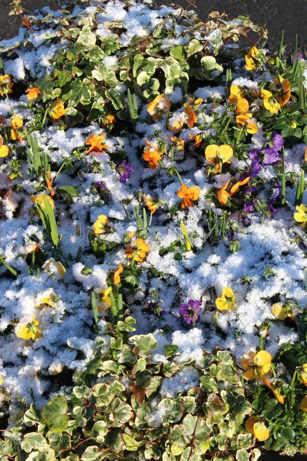 New bedding plants in flower bed, snow in winter. Small colorful bedding plants, pansies and violas, in a flower display with a covering of snow in winter with royalty free stock photo