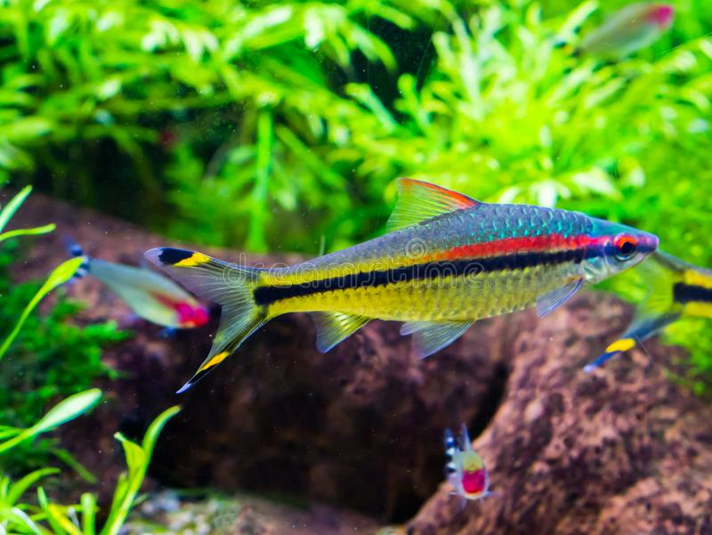 Small and colorful tetra fish swimming in the aquarium, silver color with black, yellow and red stripes. A small and colorful tetra fish swimming in the aquarium stock photos