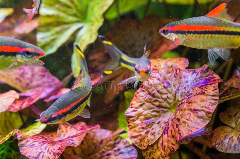 Small and colorful tetra fishes swimming in the aquarium, silver color with black, yellow and red stripes, a marine life. A small and colorful tetra fishes stock image
