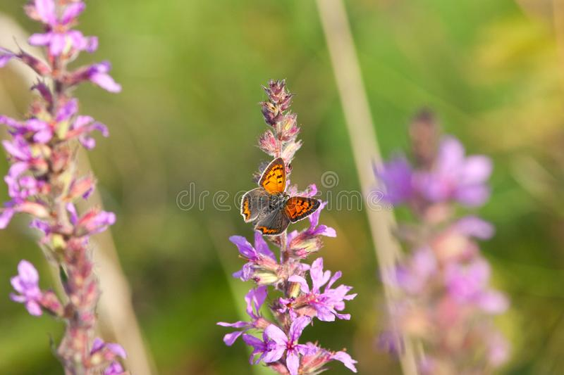 Small common copper butterfly- Lycaena phlaeas on flower royalty free stock photos