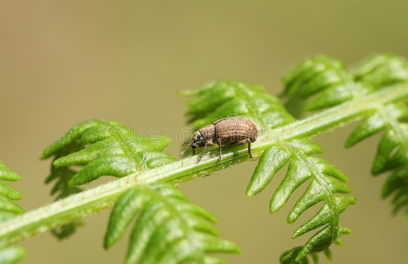 A tiny Common Leaf Weevil Phyllobius pyri perching on a bracken leaf in a forest. A small Common Leaf Weevil Phyllobius pyri perching on a bracken leaf in a stock photo