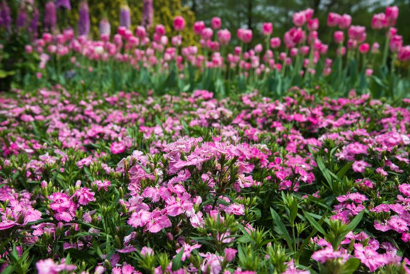 Small common pink flowers blooming in spring garden with tulips stock photography