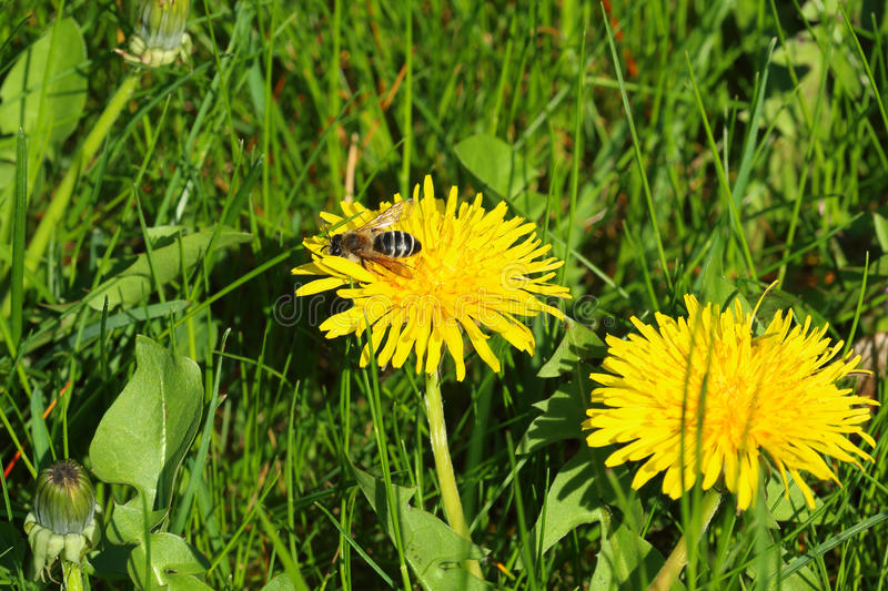 Small common wasp on dandelion bloom in tall grass, unmowed lawn royalty free stock photo