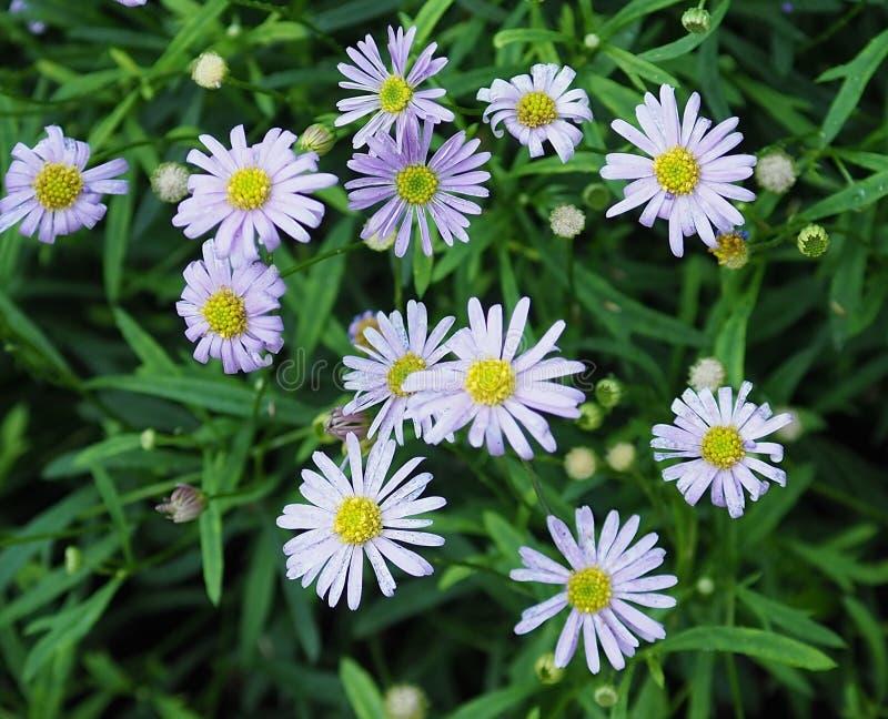 Small Mauve Daisy Like Flowers. Small compostive daisy like flowers with pale mauve petals and yellow centres stock photography