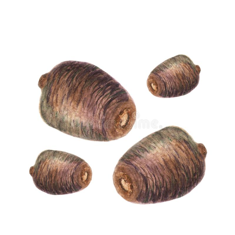 Small cones. Watercolor illustration in white stock illustration
