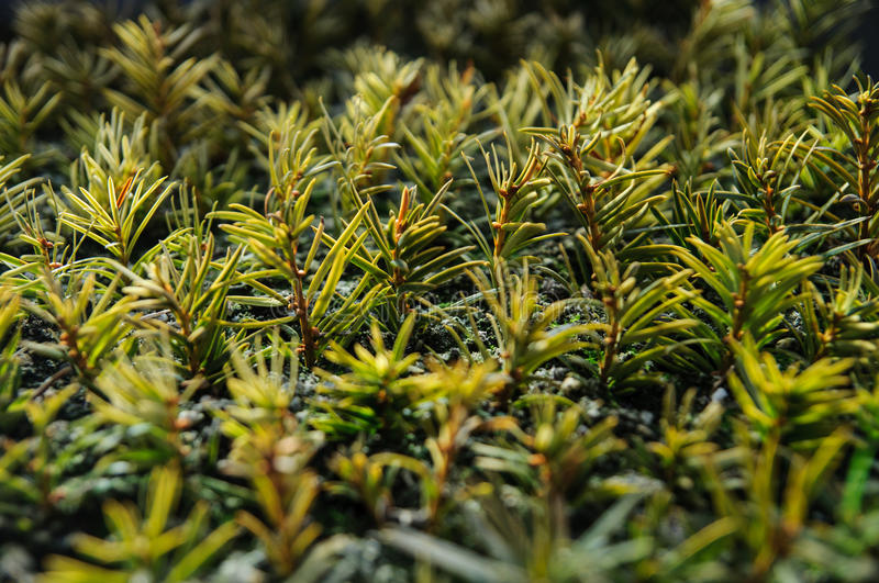 Download Small conifer seedlings stock photo. Image of flora, detail - 37432168