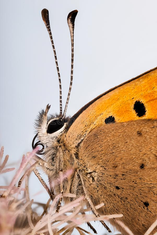 Small Copper butterfly, Lycaena phlaeas. stock photo