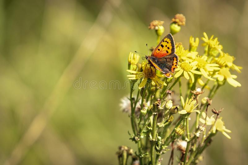 Small Copper Butterfly. The Small Copper Butterfly, Lycaena phlaeas, nectaring on Ragwort, Senecio jacobaea on Dungeness Nature Reserve in Kent, England stock image