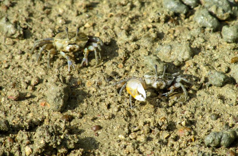 Small crab with a big claw on sand sea beach stock photo