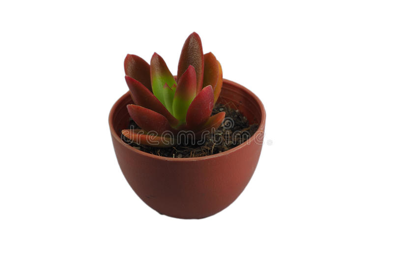 The small crassulaceae stock photography