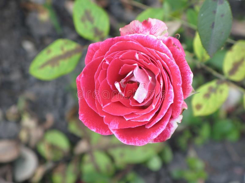 Small crimson rose. Flower on the bush in the autumnal garden flowerbed stock photos
