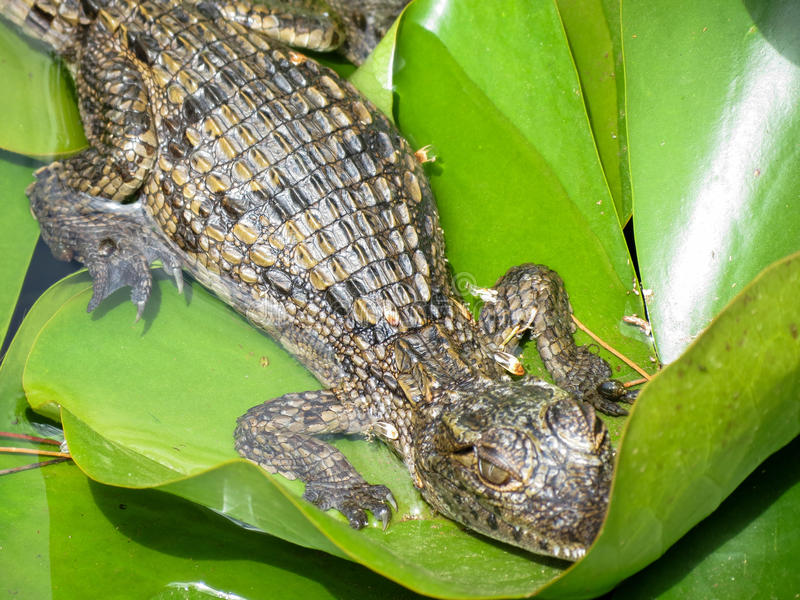 Small crocodile royalty free stock images