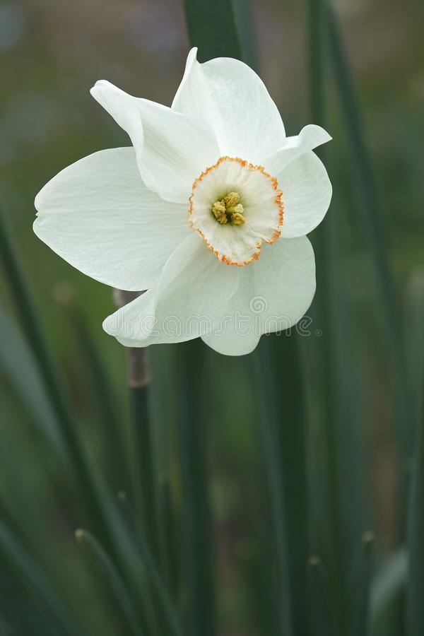 Small-cupped daffodil flower. Small-cupped daffodil Narcissus x Dreamlight stock photos