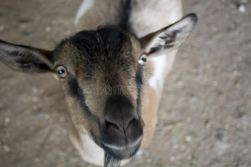 Curious goat checking out the camera royalty free stock photography