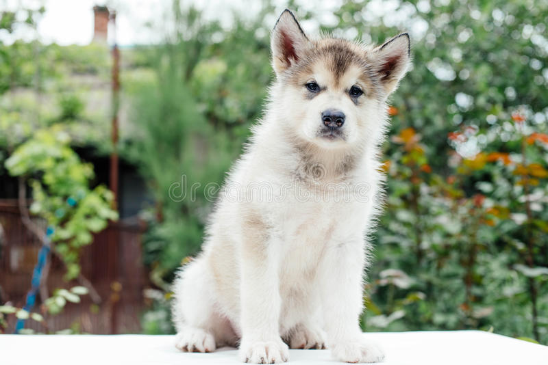 Small cute alaskan malamute puppy. Little alaskan malamute puppy in garden stock photo