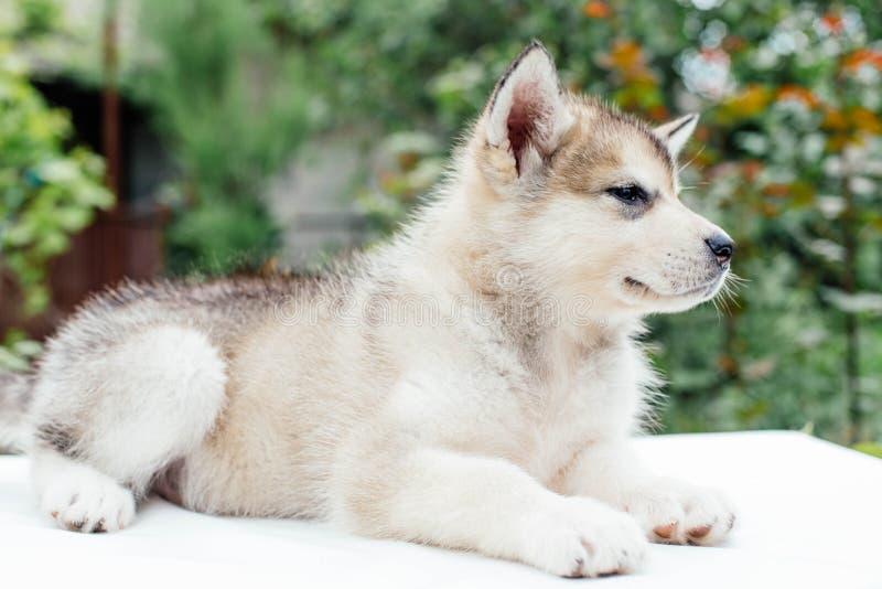 Small cute alaskan malamute puppy. Little alaskan malamute puppy in garden royalty free stock images