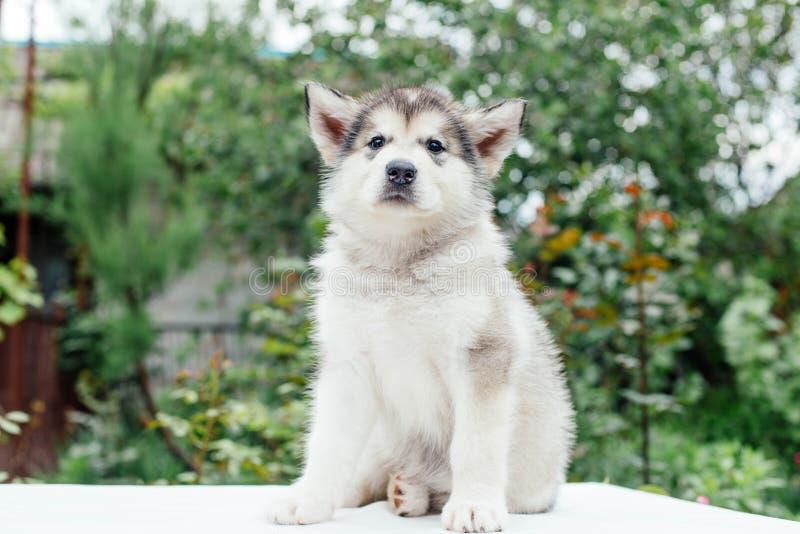 Small cute alaskan malamute puppy. Little alaskan malamute puppy in garden royalty free stock image