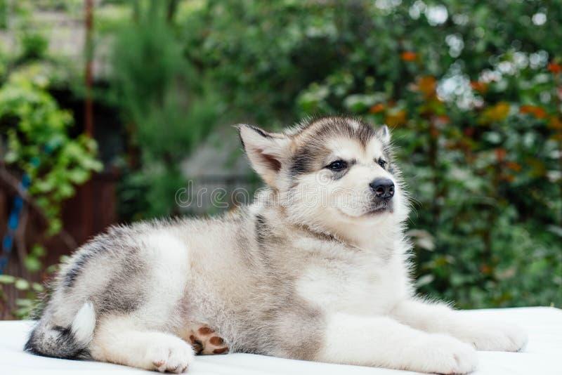 Small cute alaskan malamute puppy. Little alaskan malamute puppy in garden stock photography