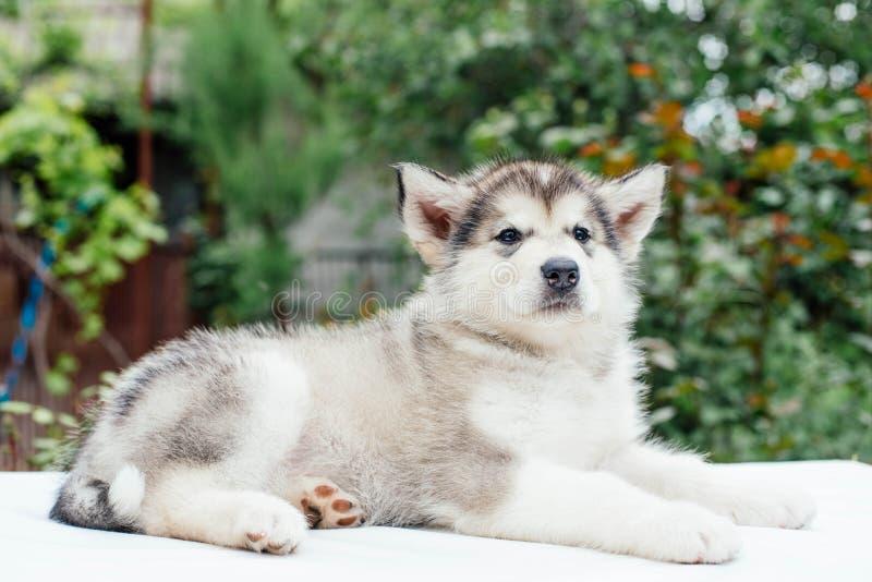 Small cute alaskan malamute puppy. Little alaskan malamute puppy in garden stock image