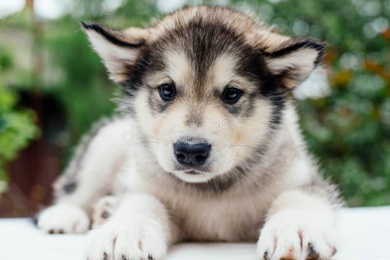 Small cute alaskan malamute puppy. Little alaskan malamute puppy in garden stock images