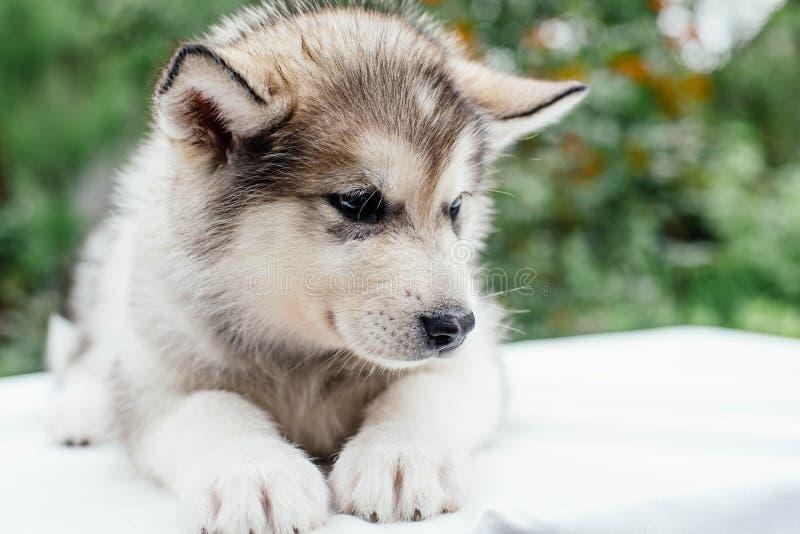 Small cute alaskan malamute puppy. Little alaskan malamute puppy in garden royalty free stock photos