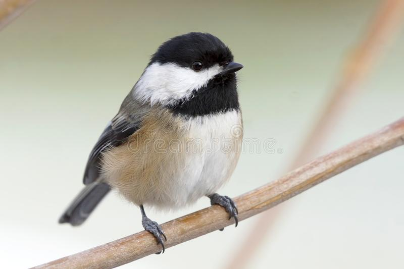 A Small Cute Bird Called a Black-capped Chickadee stock photography