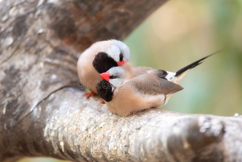 Cute couple of finchs birds on the tree branch. Small Cute birds, finchs birds on the tree branch . Love concept royalty free stock images